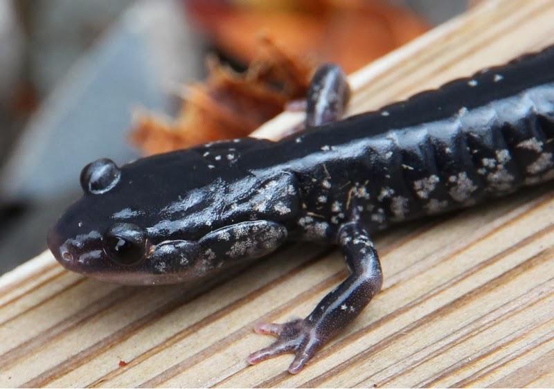 Salamander_3_12_14.2.jpg
