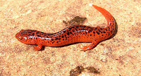Salamander.northern.red.dunson+farm+compress.jpg