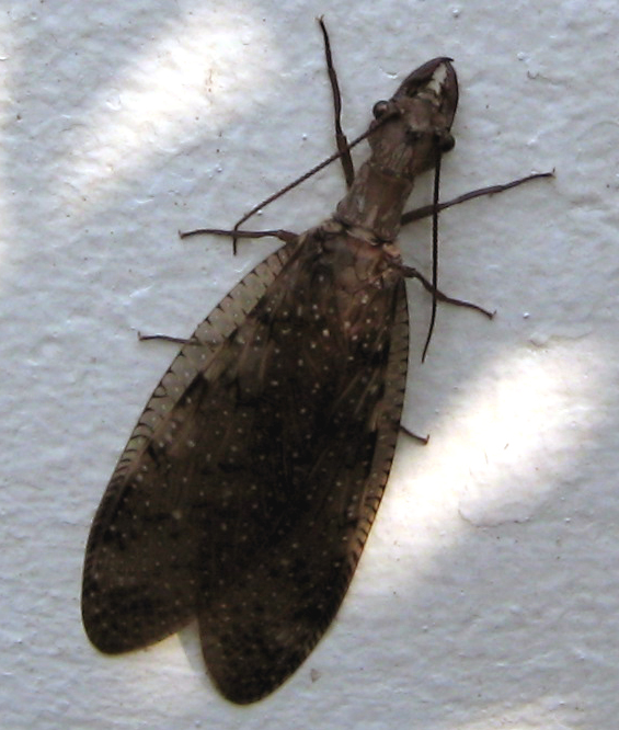 Dobsonfly, credit: Wikipedia Commons