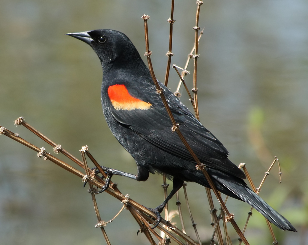 Red-winged Blackbird, Photo Credit: Wikimedia CC