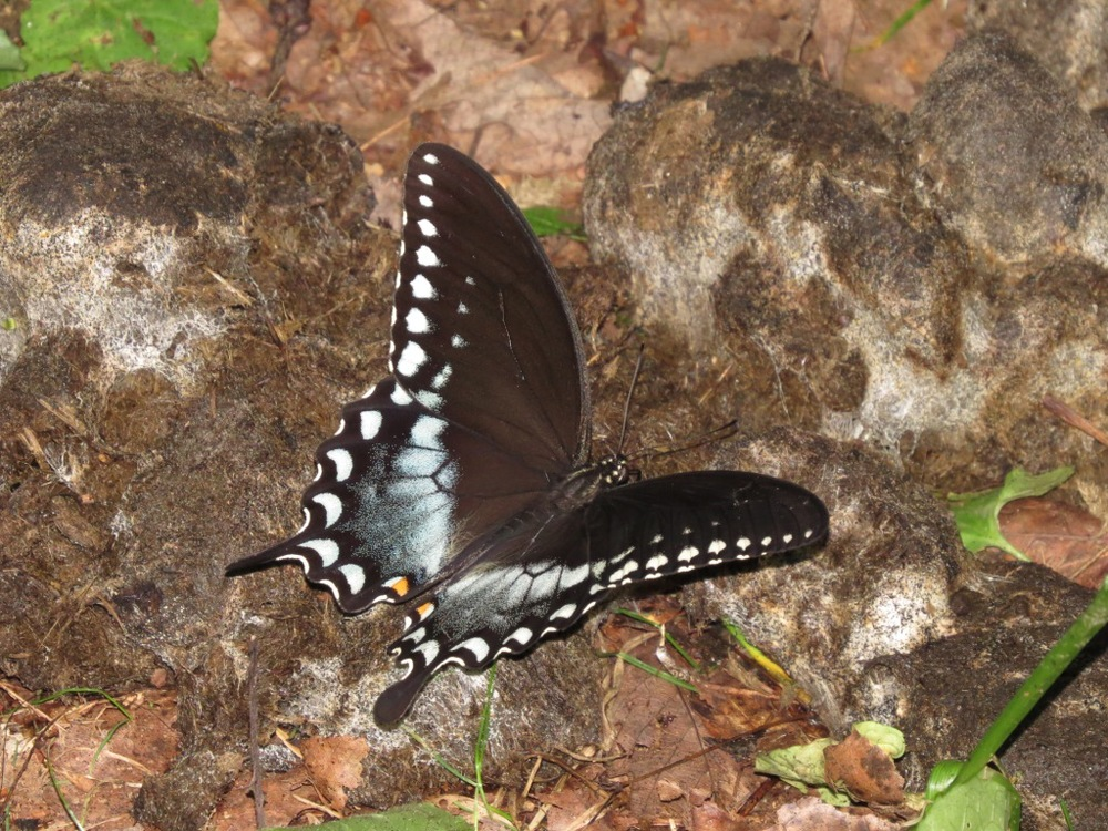 Spicebush swallowtail male on dung at NRT 7.21.15 Bill Dunson IMG_8185 aa.jpg