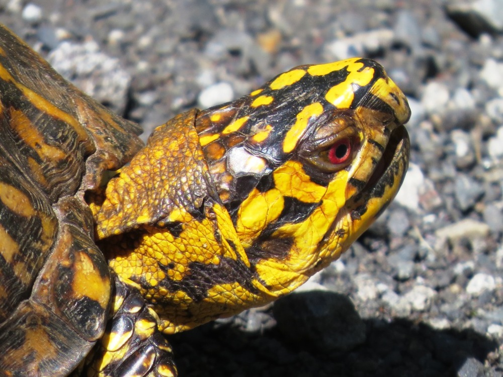Box turtle male b NRT 5.22.15 Bill Dunson IMG_6765 aa.jpg