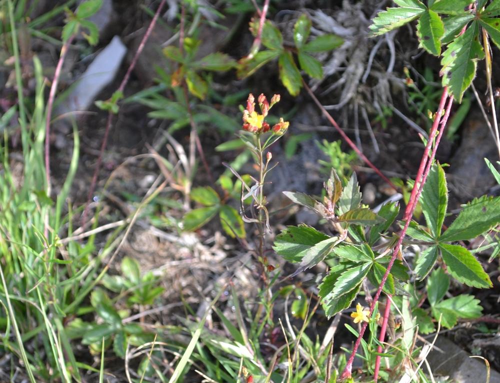 Hypericum canadenseCanada St. John's-wort