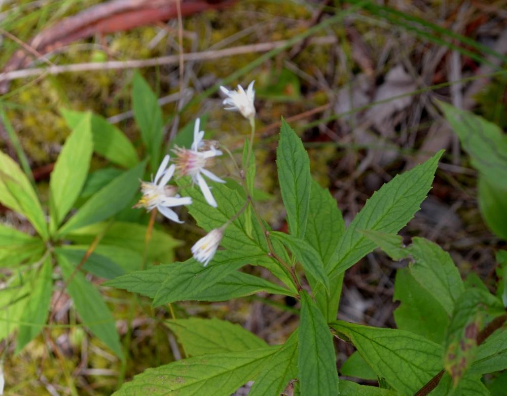 Oclemena acuminata_ whorled wood aster 3.JPG