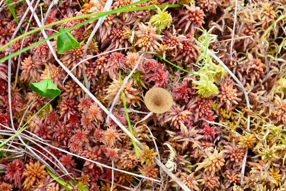 Mycenoid mushroom in sphagnum moss.JPG