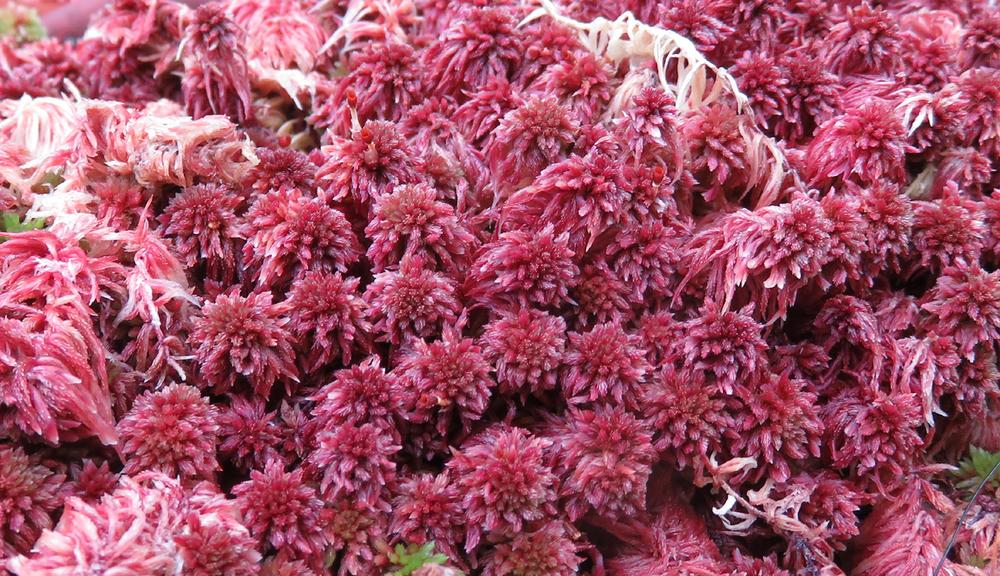Sphagnum fuscum 2.jpg