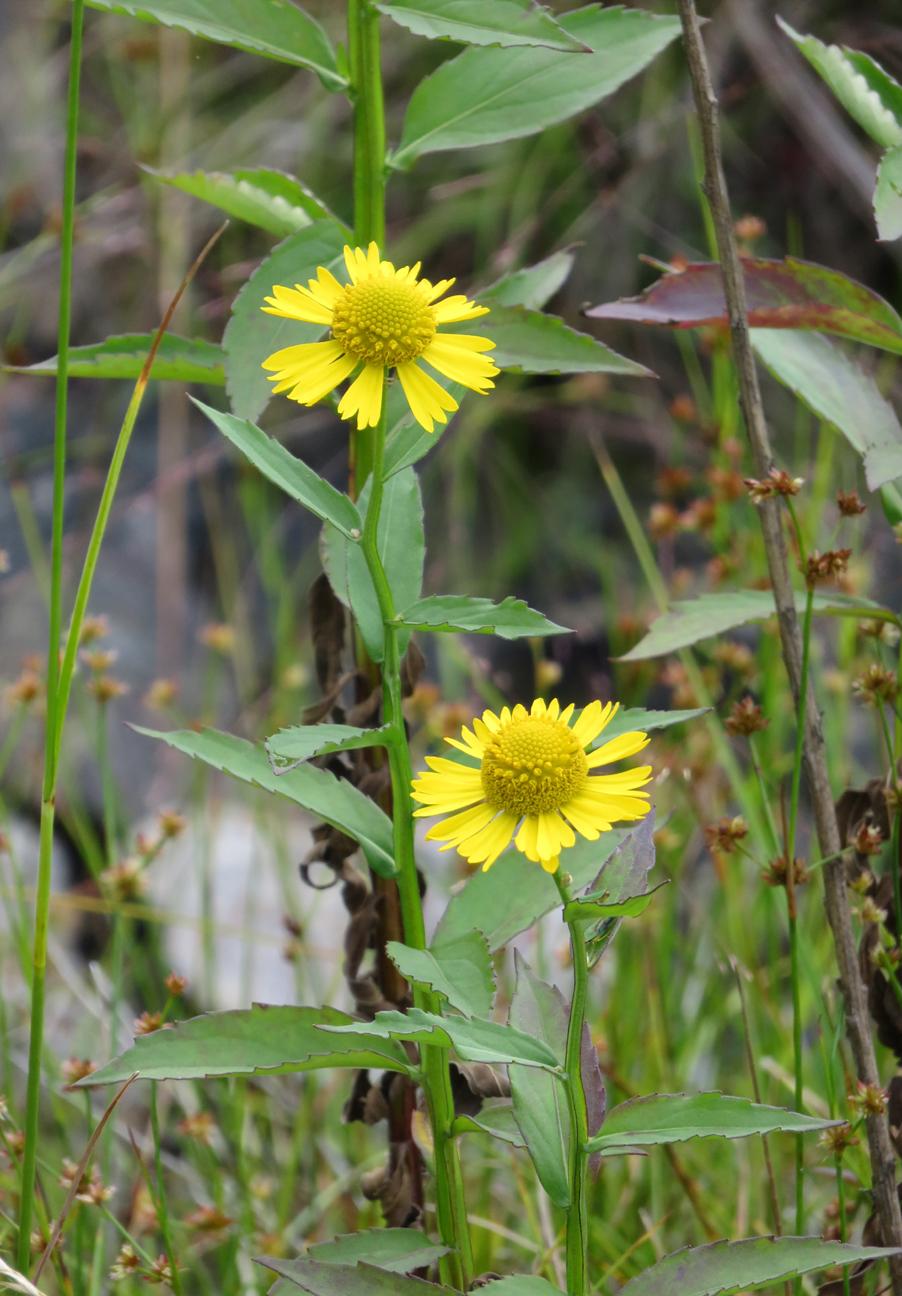 Helinium autumnale.jpg