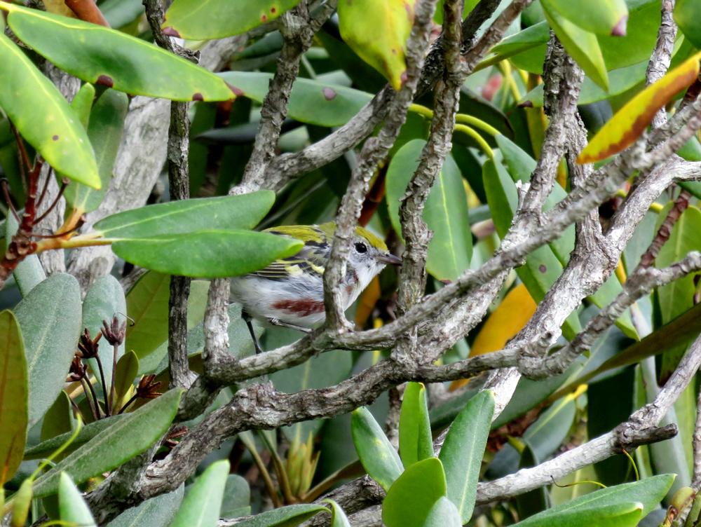 chestnut sided warbler.jpg