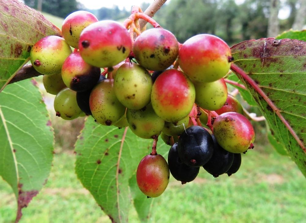 Nanny berry viburnum fruit