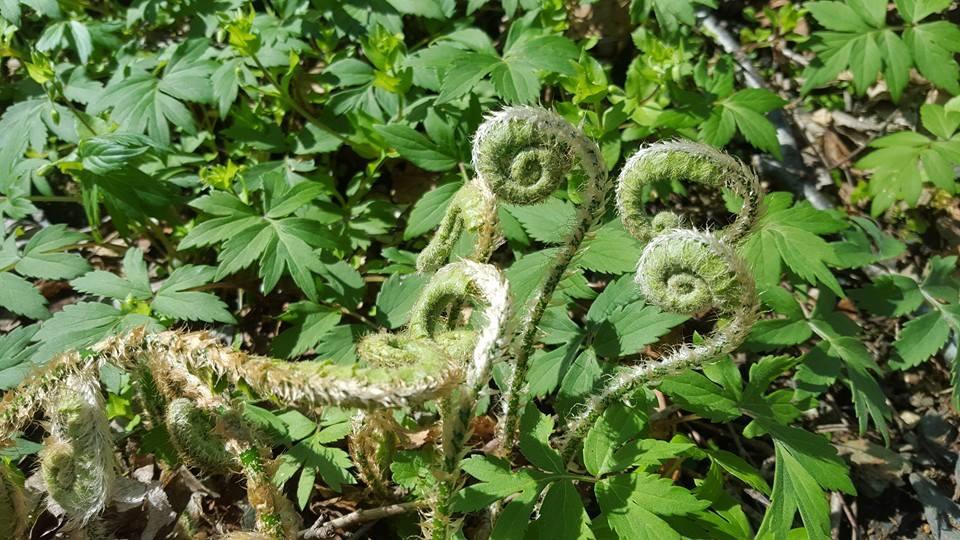Christmas Fern Fiddleheads  Polystichum acrostichoides