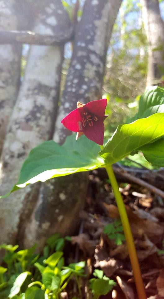 Red Trillium  Trillium erectum