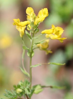 Yellow Fumewort  Corydalis flavula