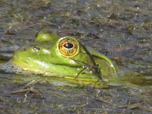 Bullfrog in spring pond. Photo by Bill Dunson