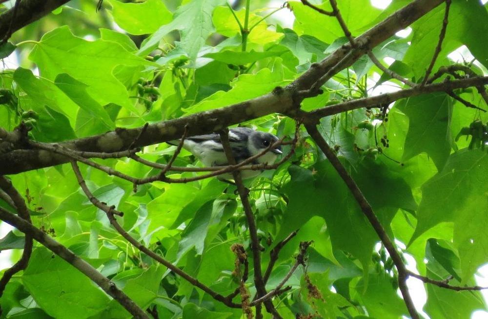 Cerulean Warbler @ Grayson Highlands