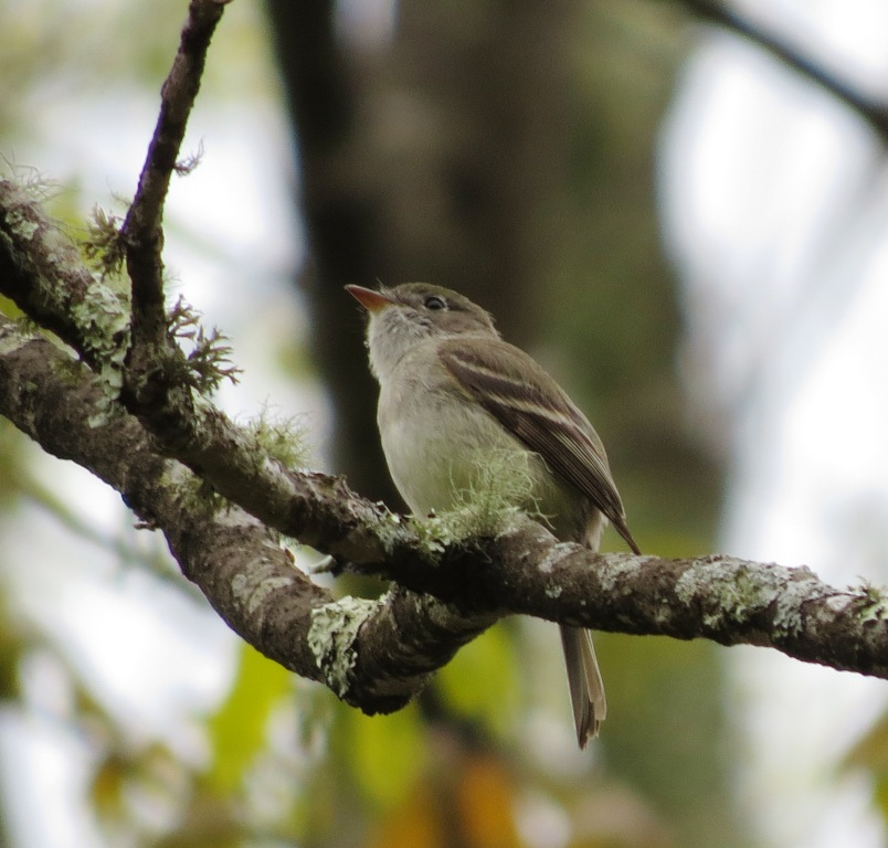 Least flycatcher @ Grayson Highlands
