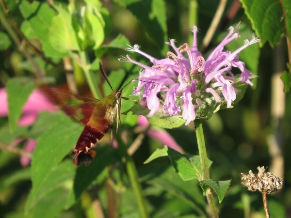 Hummingbird clearwing sphiinx moth at bergamot