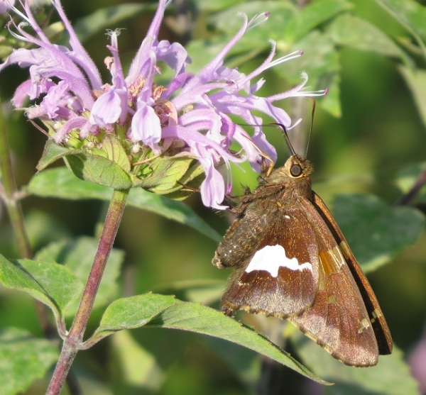 Silver spotted skipper on bergamot