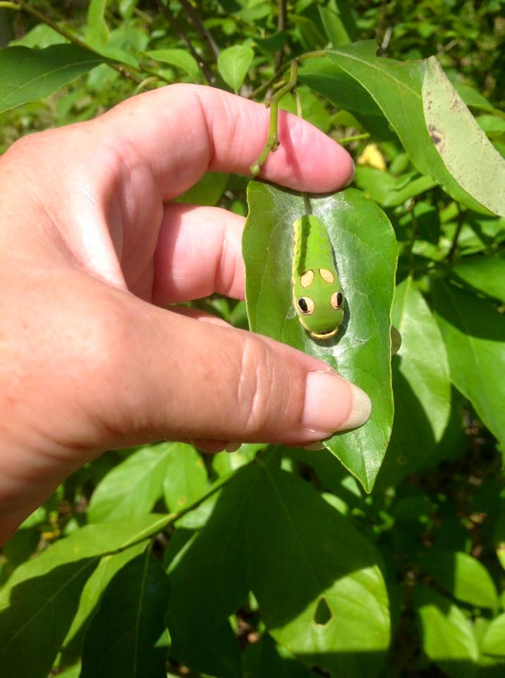 Spicebush Swallowtail caterpillar    Photo courtesy of Ellen Reynolds, Beagle Ridge Herb Farm