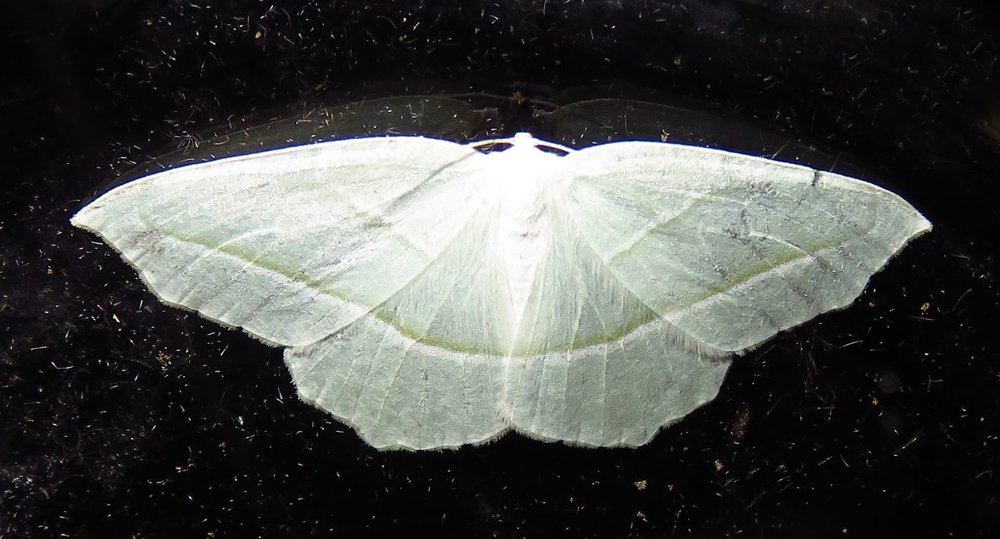 Geometridae Family #1, unidentified (45-50 mm wingspan).JPG
