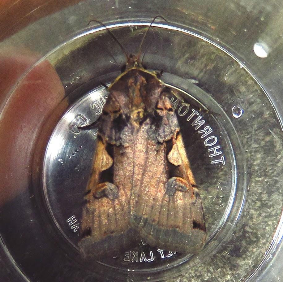 Greater Black-letter Dart, Xestia dolosa.JPG