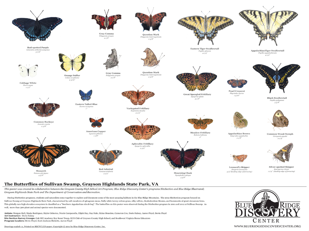 Blue Ridge Illustrated butterflies of sullivan swamp.png