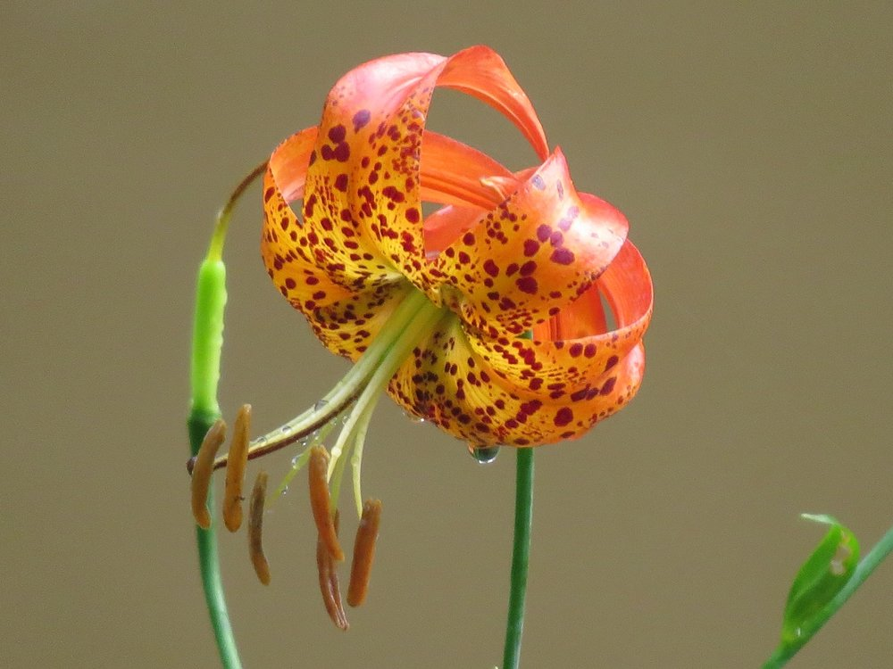 Turks cap lily Chesnut Creek NRT