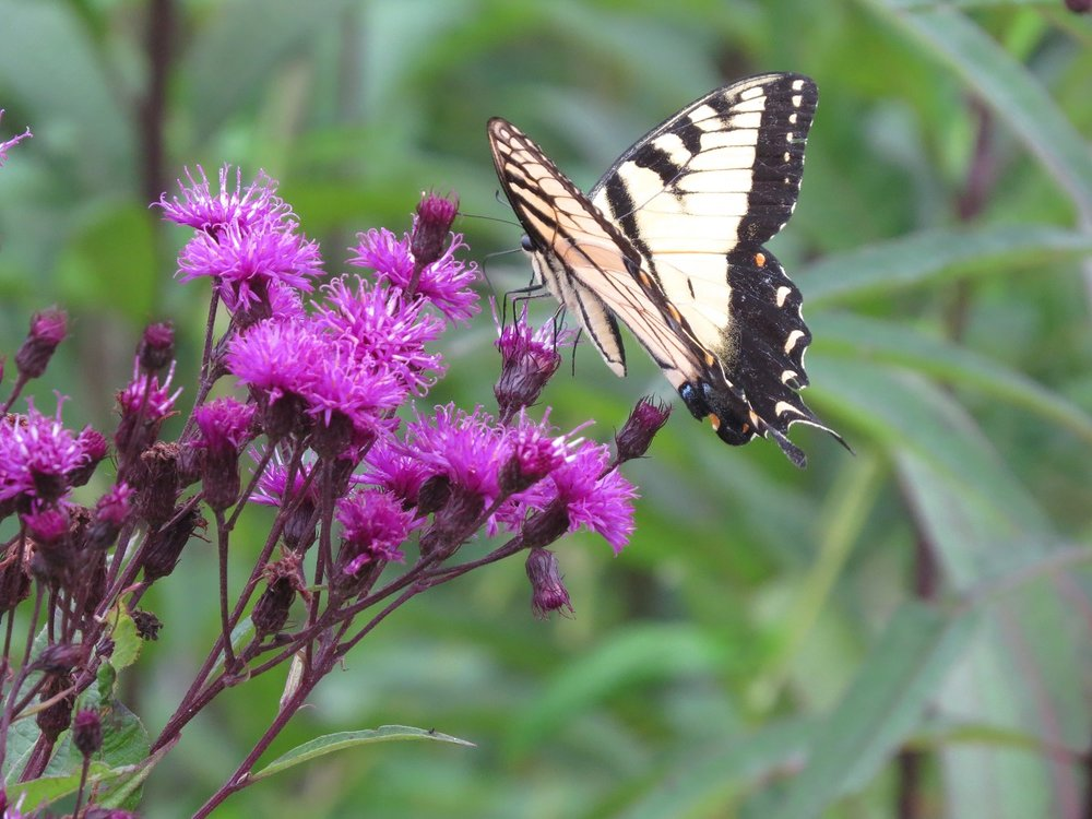 Ironweed with tiger swallowtail.jpg
