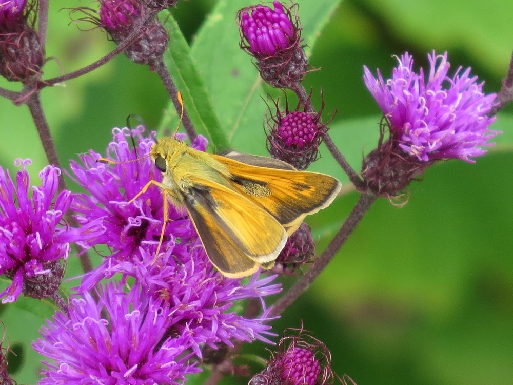 Skipper on ironweed