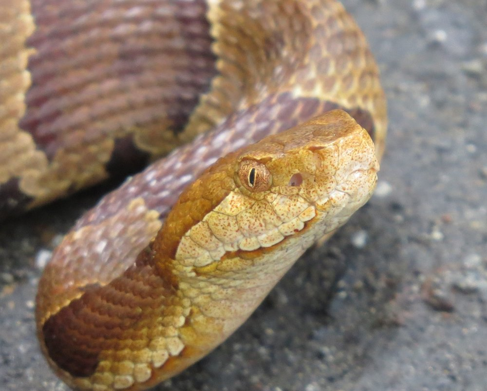 Copperhead closeup of head and pit organ