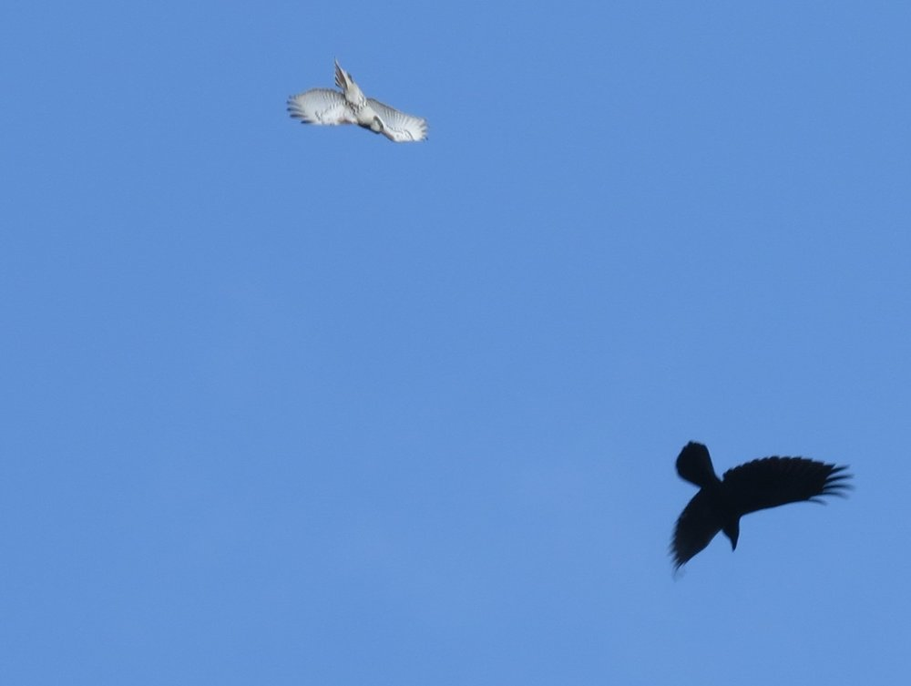 Redtail and raven in aerial dogfight