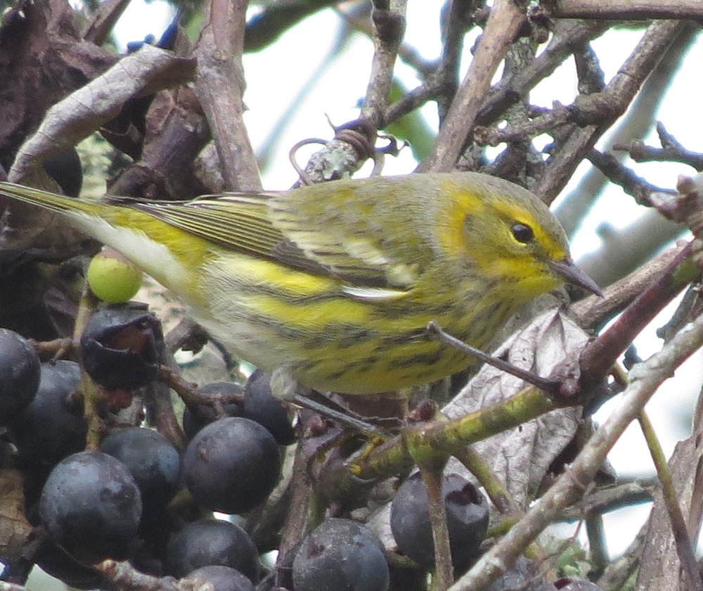 Cape May warbler male eating grapes