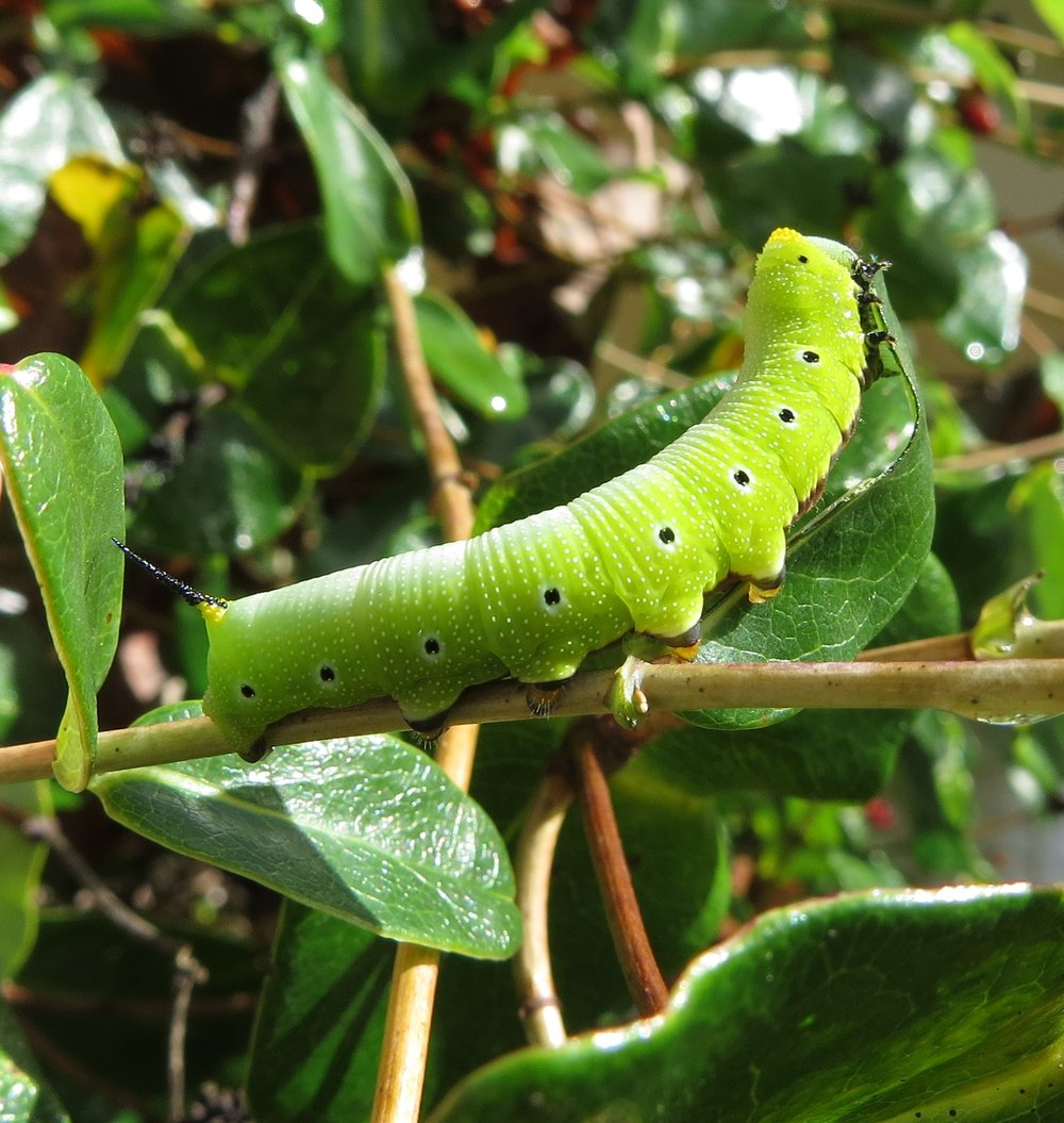 Snoberry clearwing sphinx caterpillar