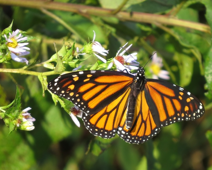Monarch female on aster
