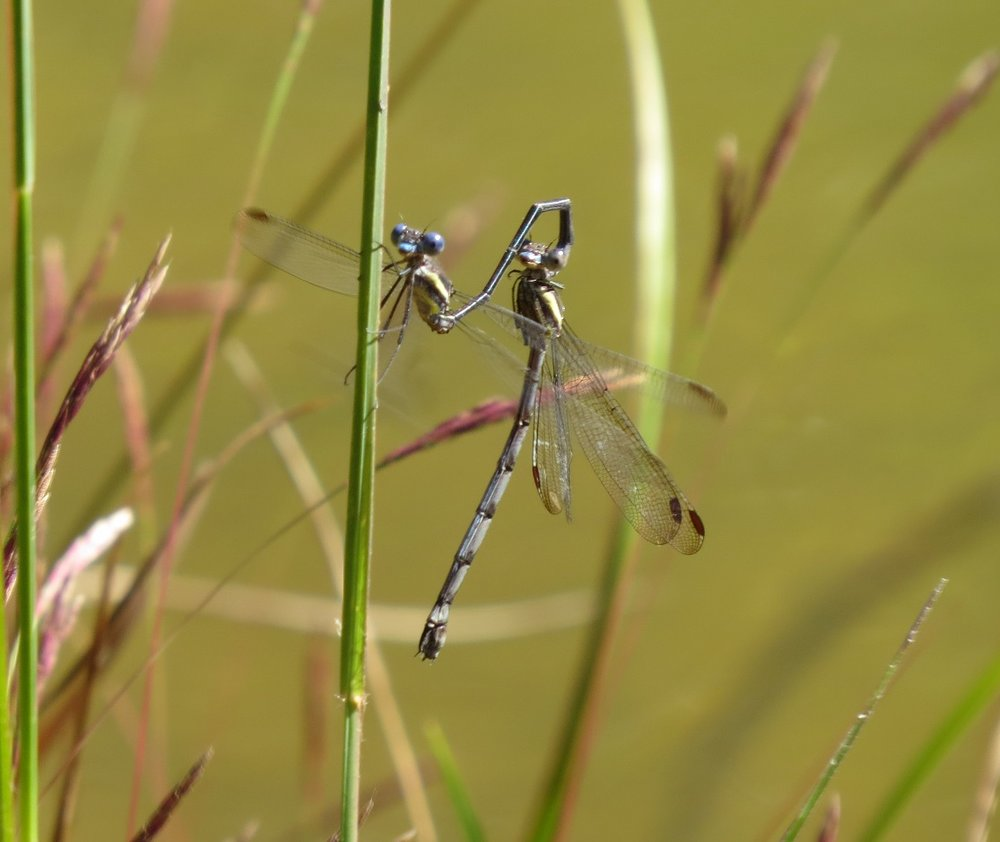 Great spreadwing damselfly pair in tandem