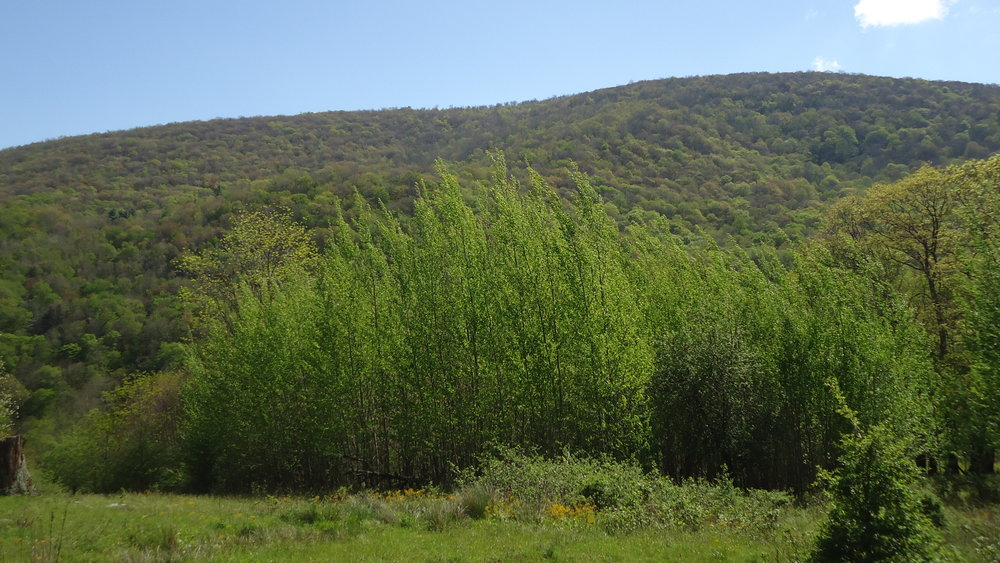 Sawtooth aspen