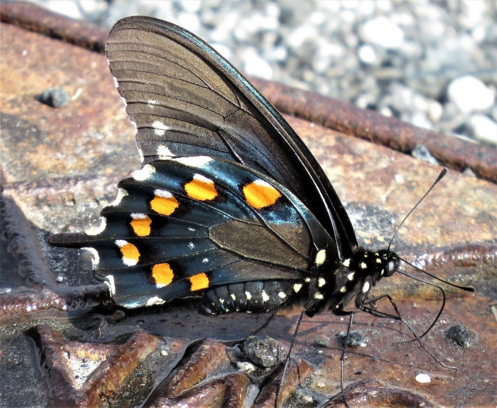 Pipevine swallowtail outer wings
