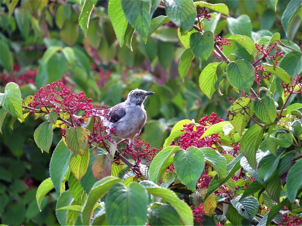 Mockingbird eating mariesiii viburnum fruit