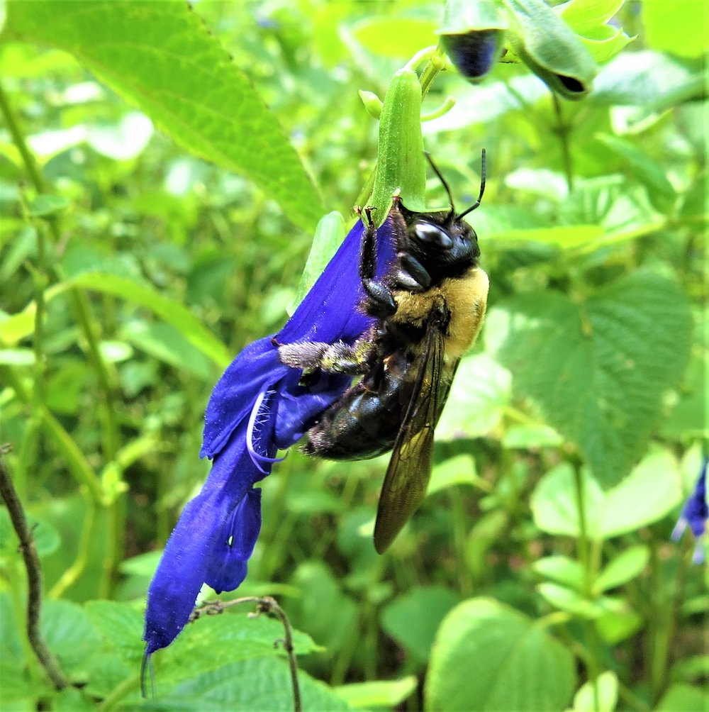 Bumblebee stealing nectar from black and blue salvia