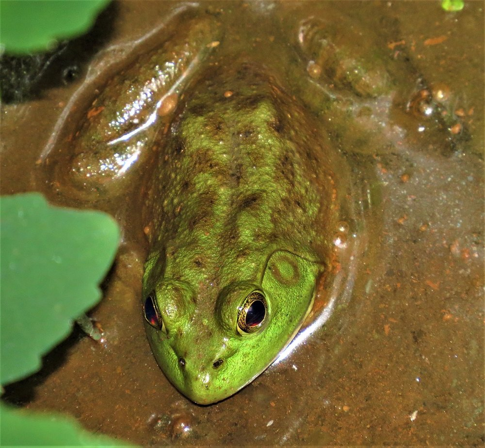 Bullfrog female