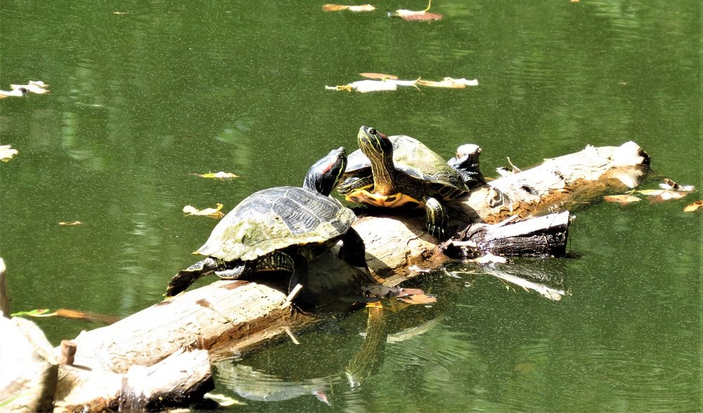Red eared turtles sunning on a log