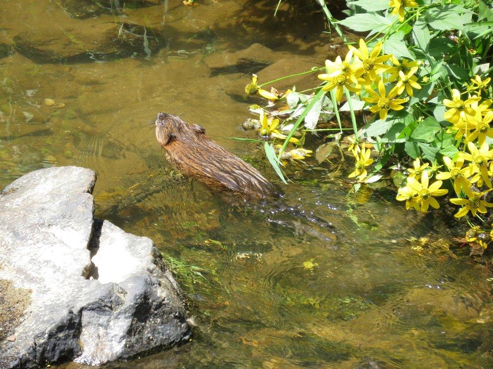Muskrat in Chestnut Creek