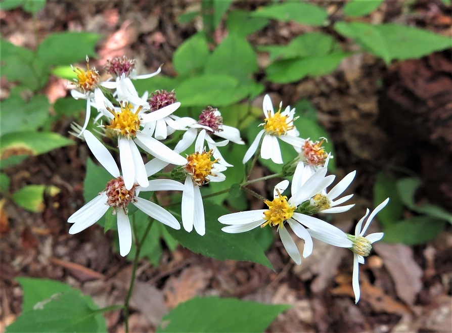 White woods aster