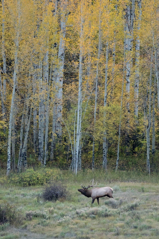 Aspen Elk-1.jpg