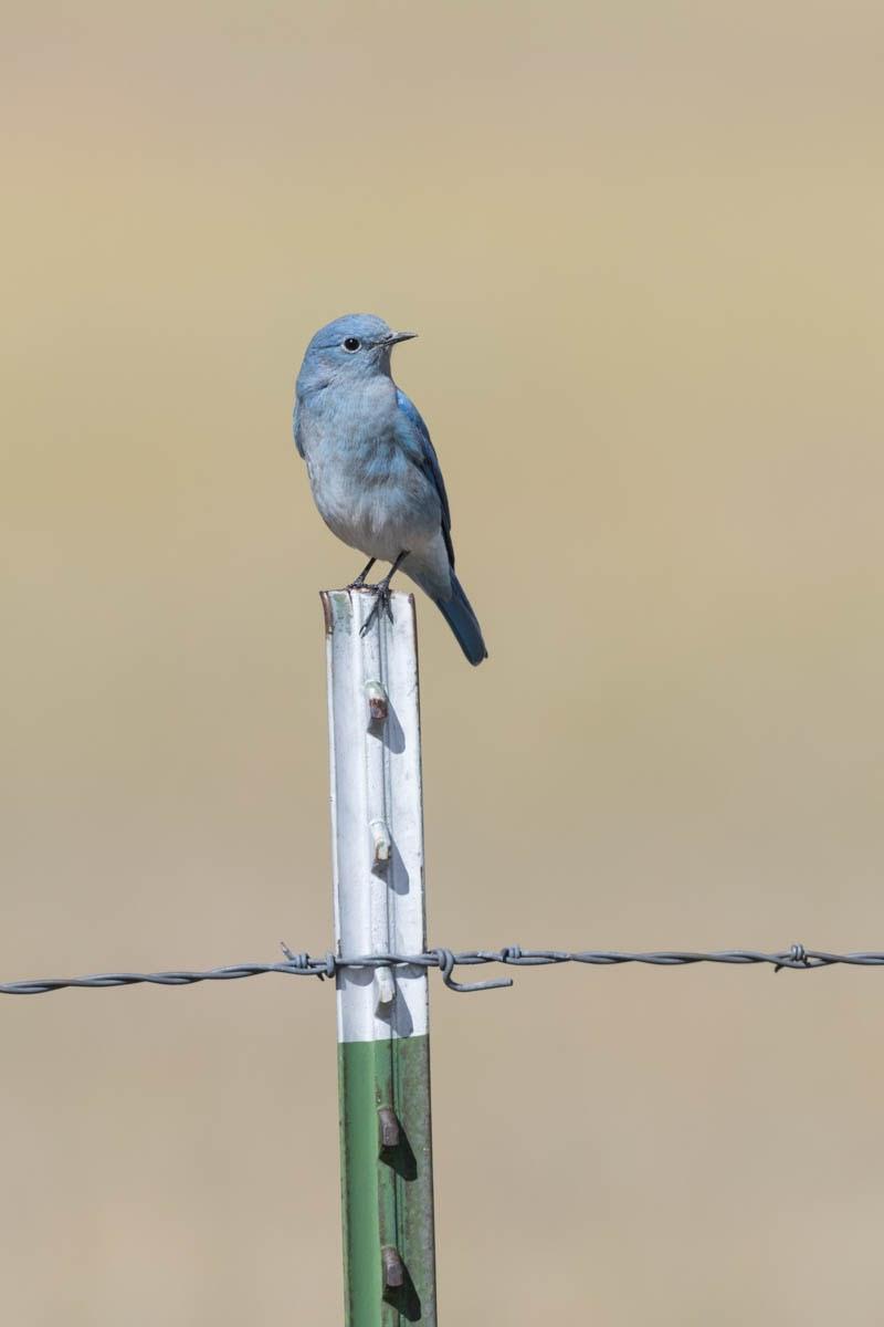 MountainBluebird-1.jpg