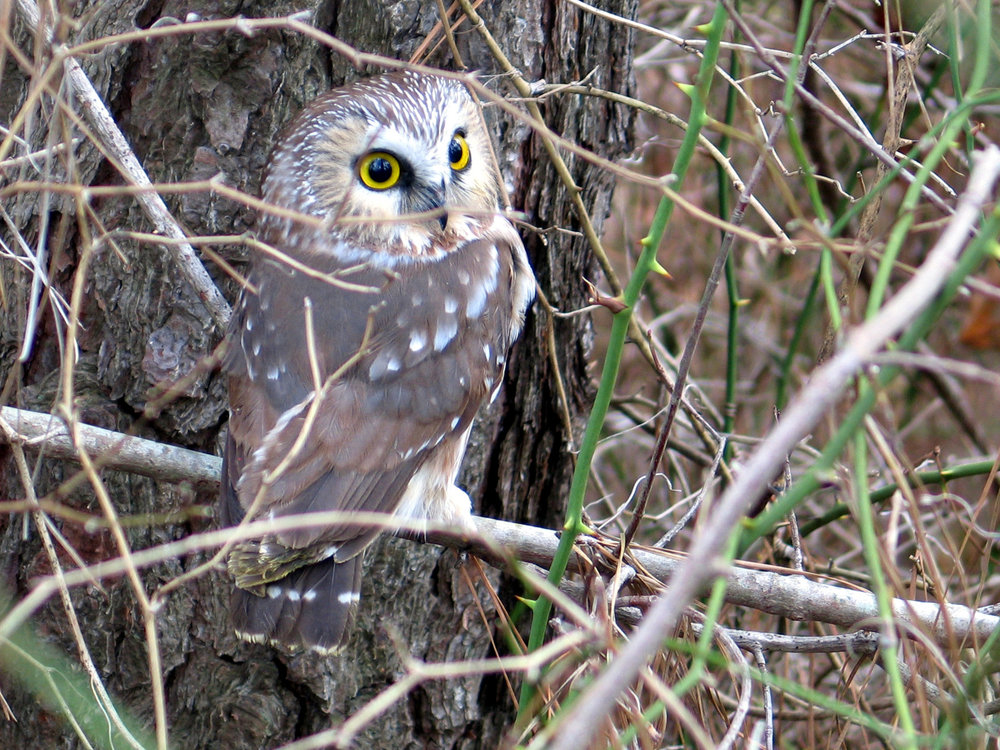 Northern Saw-whet Owl Photo by Dave Brinker
