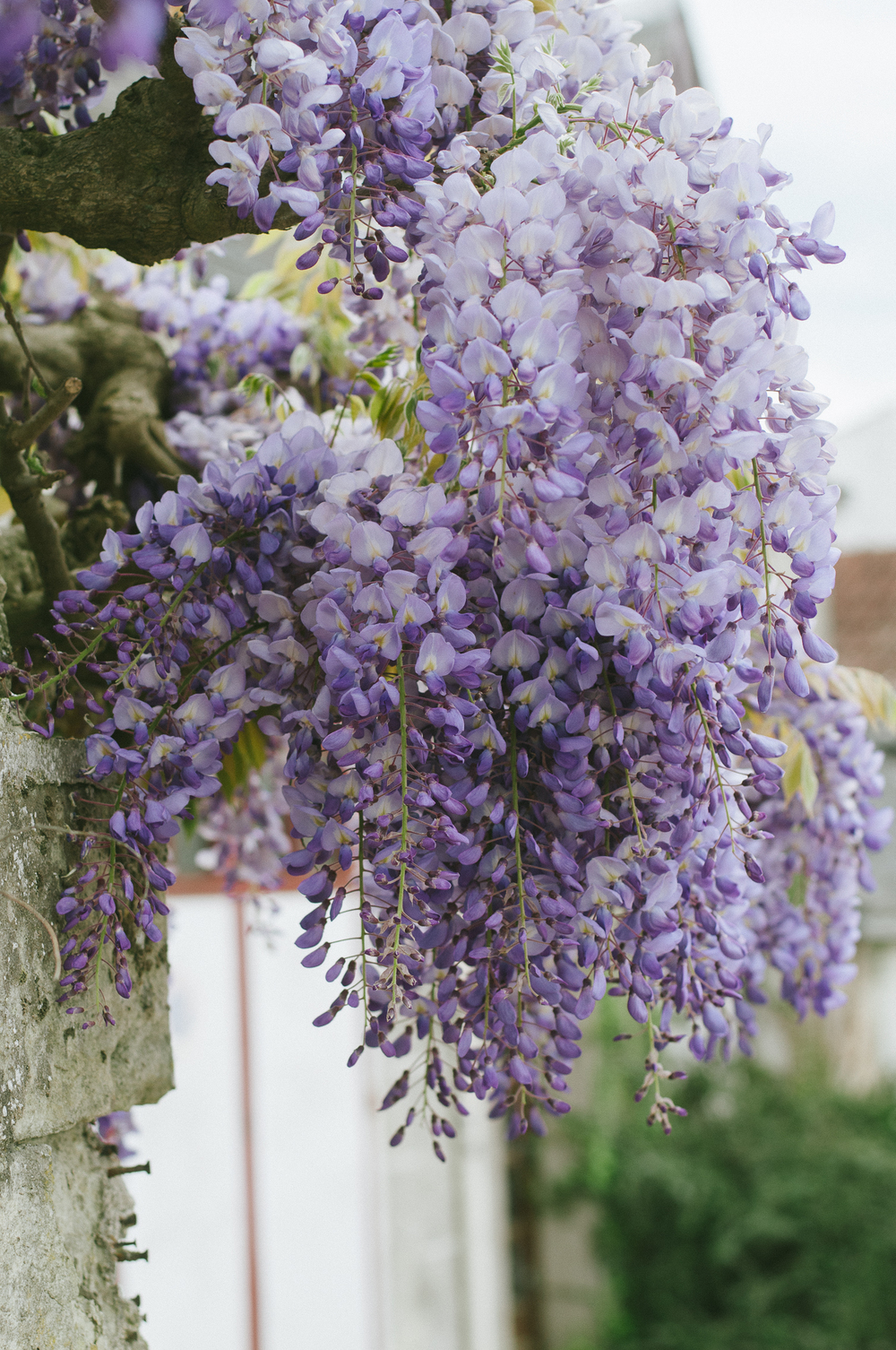 Wisteria tree near Chinon, France.