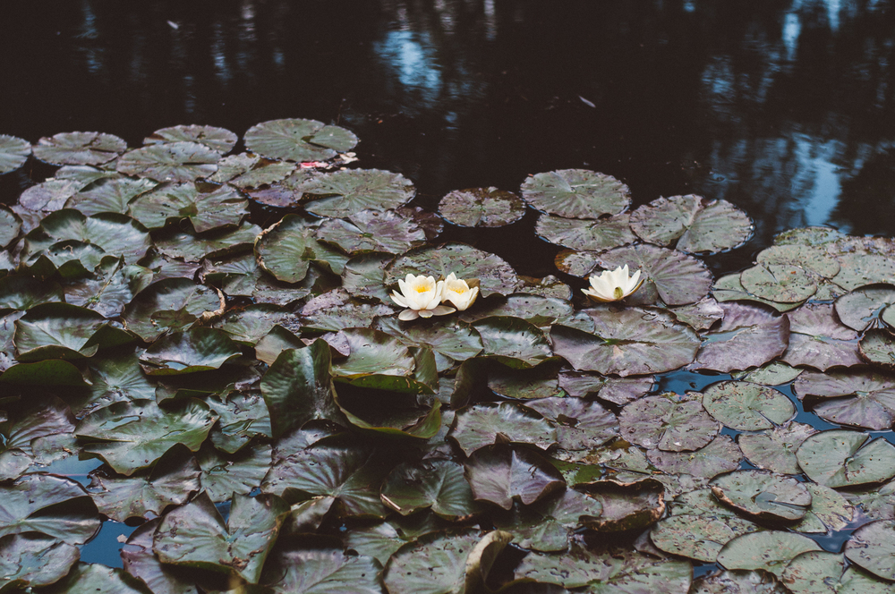 Lily pads in Monet's aqua gardens in Giverny, France.