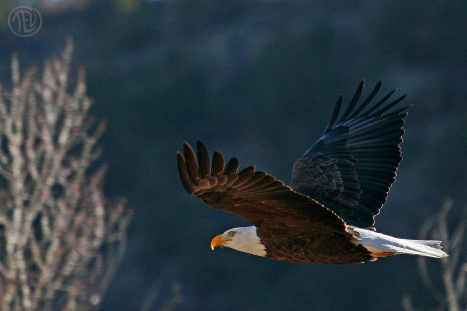 Bald Eagle, Colorado, 2011