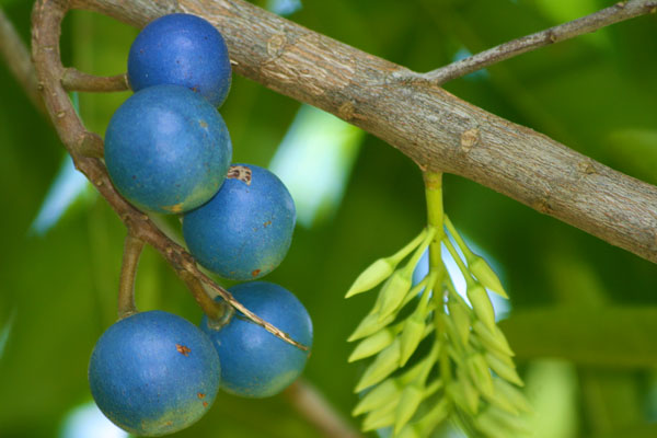 Rudrasha fruit