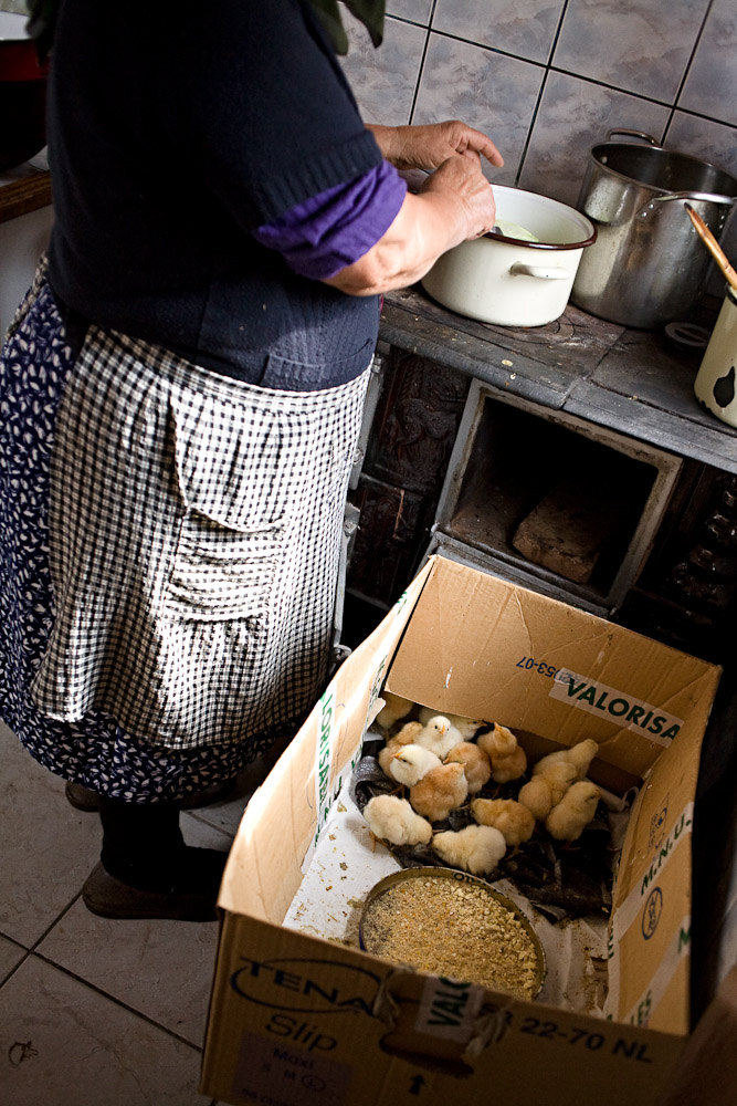 Zece-Hotare village, Romania. New-born chicks are brough into the kitchen to protect them from the cold.